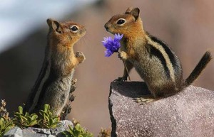 Chipmunk proposing with purple flower